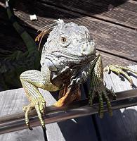 Нажмите на изображение для увеличения.  Название:iguana1.jpg Просмотров:29 Размер:126.8 Кб ID:325308