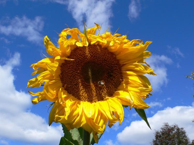 солнечный цветок осенью