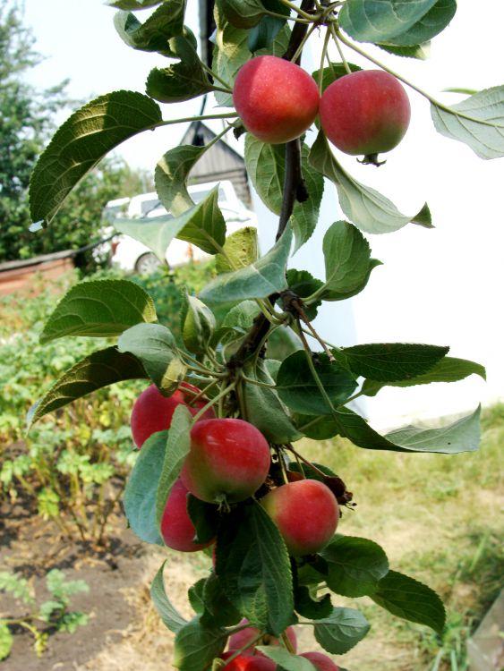 райские яблочки